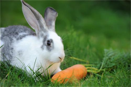alimentation du lapin : repères