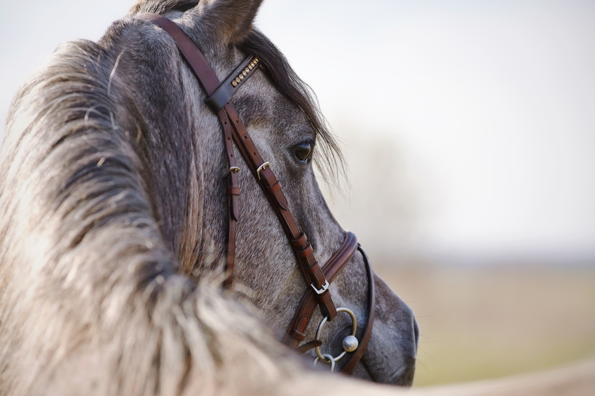 conseils pour les dents du cheval