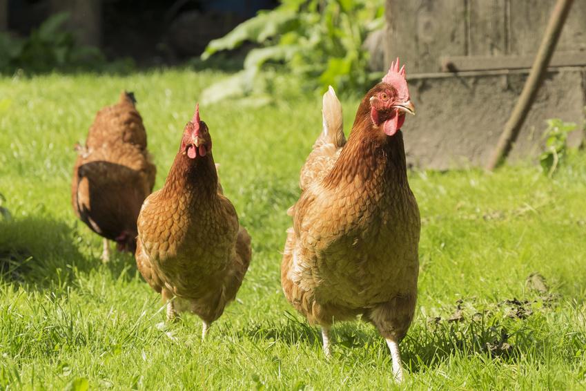 Combien de poules dans mon jardin