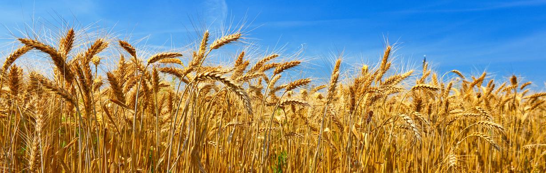 céréales bio